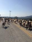 goats around us